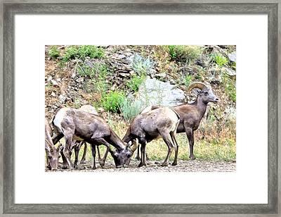 Rocky Mountain Sheep Framed Print by James Steele