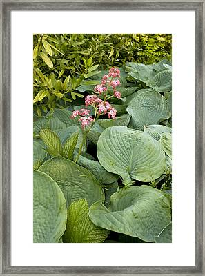 Rodgersia Pinnata 'superba' Framed Print by Bob Gibbons