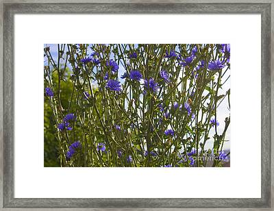 Romaine Lettuce Flowers 2 Framed Print by Donna Munro