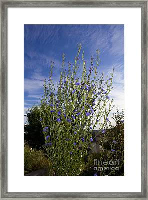 Romaine Lettuce Flowers Framed Print by Donna Munro
