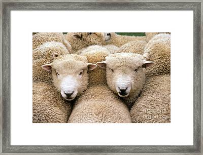 Romney Sheep Framed Print by Gregory G Dimijian and Photo Researchers
