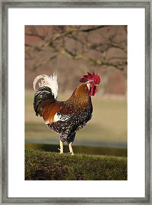 Rooster Gallus Gallus Northumberland Framed Print by John Short
