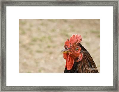 Rooster Framed Print by Igor Kislev