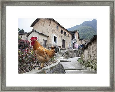 Rooster On A Roadside Wall Framed Print by Shannon Fagan