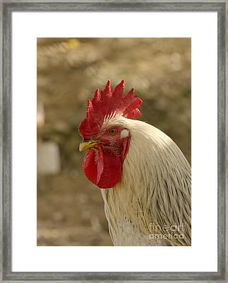 Rooster Framed Print by Perry Van Munster