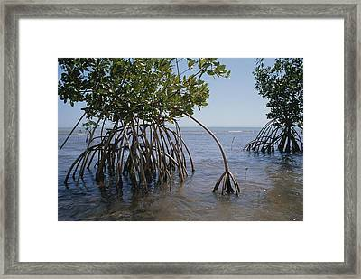 Root Legs Of Red Mangroves Extend Framed Print by Medford Taylor