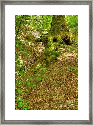 Roots Of A Tree At Ciucaru Mare Forest Framed Print by Gabriela Insuratelu