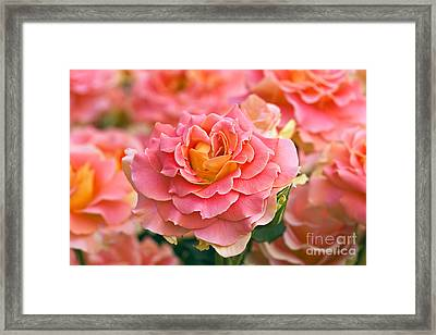 Rosa 'brass Band' Framed Print by Alan Detrick and Photo Researchers