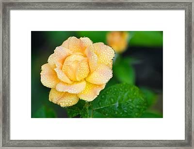 Rosa Floribunda Easy Going Framed Print