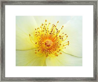 Rosa Golden Wings Framed Print