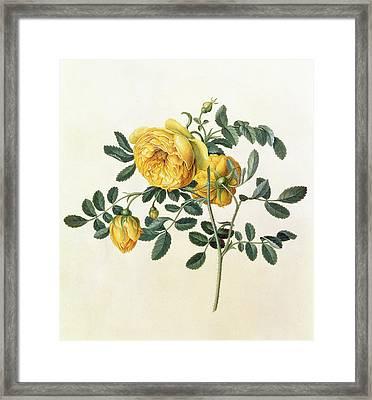 Rosa Hemispherica Framed Print by Georg Dionysius Ehret