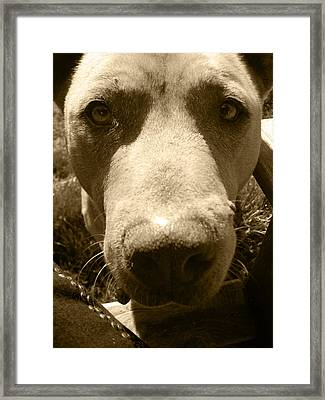 Roscoe Pitbull Eyes Framed Print by Kym Backland