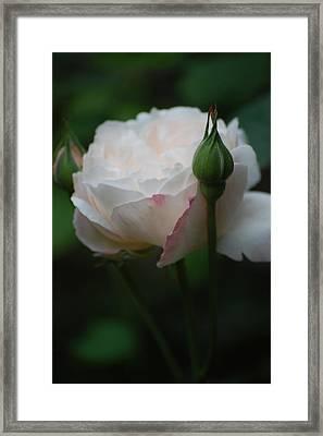 Rose - White Framed Print by Dickon Thompson
