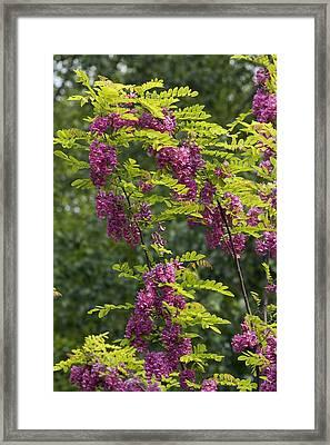 Rose Acacia (robinia Hispida) Framed Print