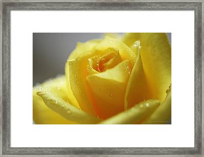 Rose After The Rain Framed Print