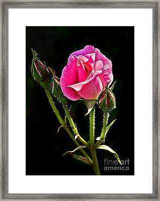 Rose And Buds Framed Print by Robert Bales