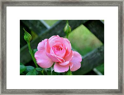 Framed Print featuring the photograph Rose And Fence by Helen Haw