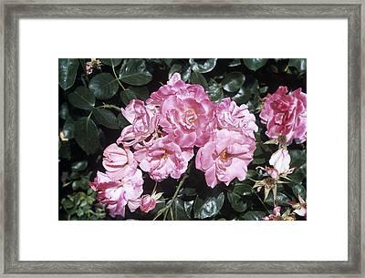 Rose 'anna Livia' Flowers Framed Print by Adrian Thomas