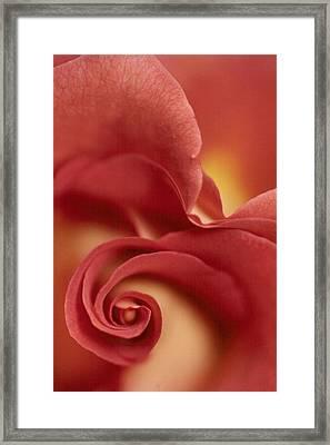 Rose Framed Print by Anne Gordon