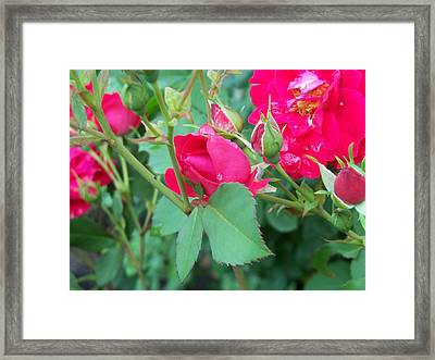 Rose Bud With Water Droplet Framed Print