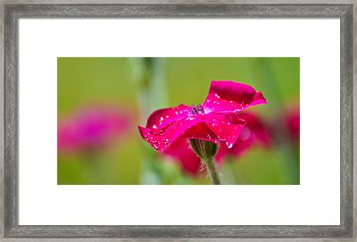 Framed Print featuring the photograph Rose Campion by Ronda Broatch