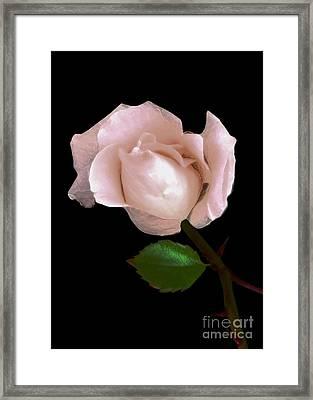 Rose Framed Print by Dale   Ford