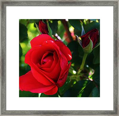 Rose Delight Framed Print by Bruce Bley