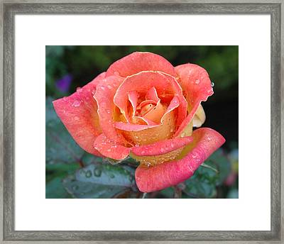 Rose Dew II Framed Print by George Crawford