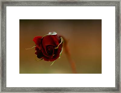 Rose Dream Framed Print by Gabriel Calahorra