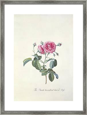 Rose Dutch Hundred Leaved Rose Framed Print by Georg Dionysius Ehret