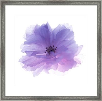Rose Flower (rosa Sp.) Framed Print by Cristina Pedrazzini
