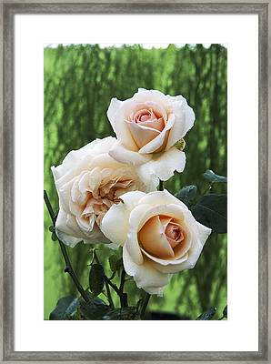 Rose Flowers (rosa 'penny Lane') Framed Print by Archie Young