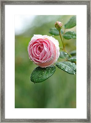 Rose  'geoff Hamilton' Framed Print by Myu-myu