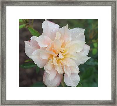 Rose Framed Print by Glenn Lawrence