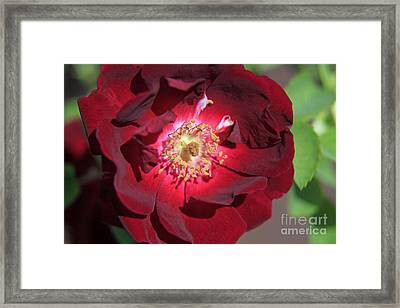 Rose Glow Framed Print by Shawn Naranjo