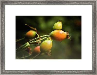 Framed Print featuring the photograph Rose Hips by Albert Seger