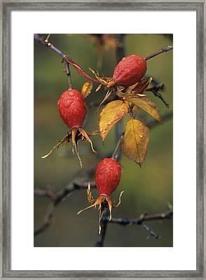 Rose Hips (rosa Sp.) Framed Print by Bob Gibbons