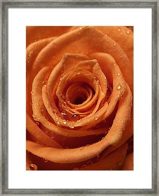 Rose Framed Print by Ignaz Uri
