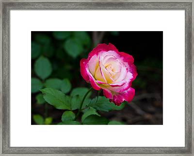 Rose IIi Framed Print by Tim Fitzwater