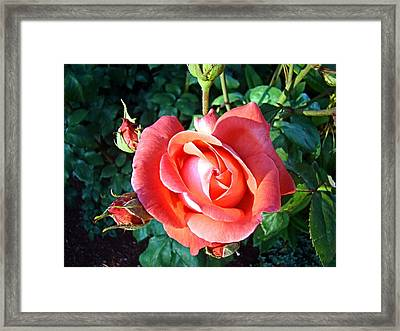 Framed Print featuring the photograph Rose In Setting Sun by Nick Kloepping