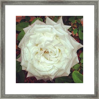 #rose Framed Print