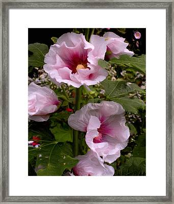 Rose Pink Hollyhocks Framed Print