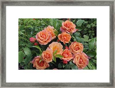 Rose Rosa Sp Aprikola Variety Flowers Framed Print by VisionsPictures