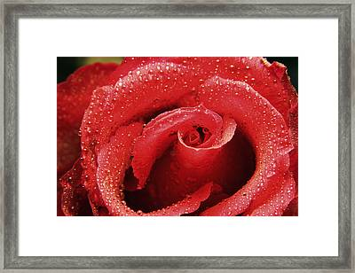 Rose (rosa Sp.) Framed Print by Cordelia Molloy