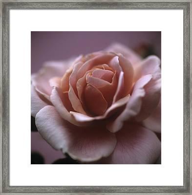 Rose (rosa Sp.) Framed Print by Cristina Pedrazzini