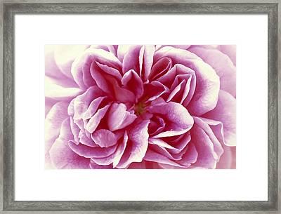 Rose Rosa Sp Detail Of Opening Flower Framed Print by Jan Vermeer