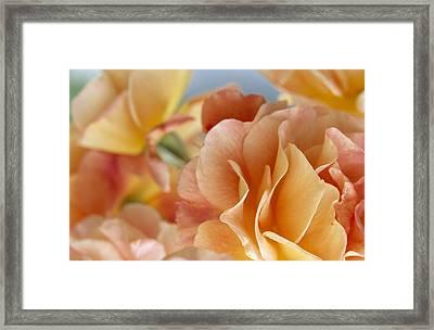 Rose Rosa Sp Detail Of Yellow Flowers Framed Print by Jan Vermeer