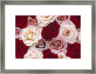 Rose Rosa Sp Flowers, Close Up Of Many Framed Print by Jan Vermeer