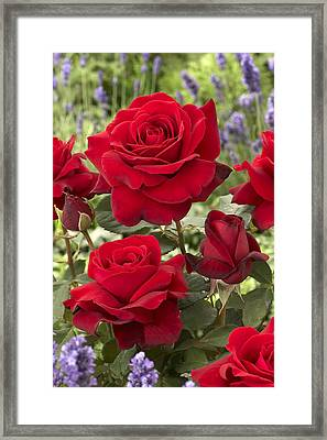 Rose Rosa Sp Flowers Framed Print by VisionsPictures