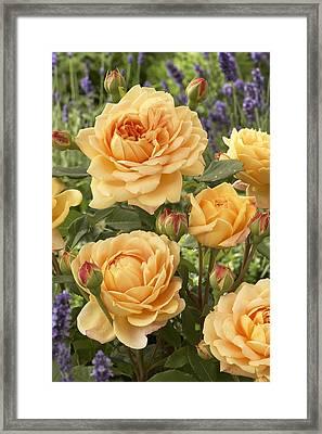 Rose Rosa Sp Golden Celebration Variety Framed Print by VisionsPictures